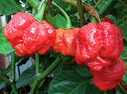 Bhut Jolokia chile pepper's
